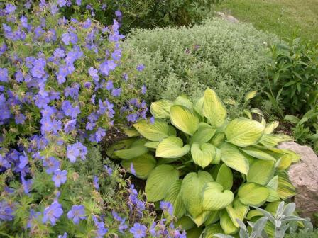 Gulgrønn Hosta med Geranium Johnsons Blue